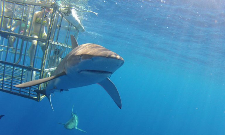Oahu Shark Cage Dive Cruise with Transfers